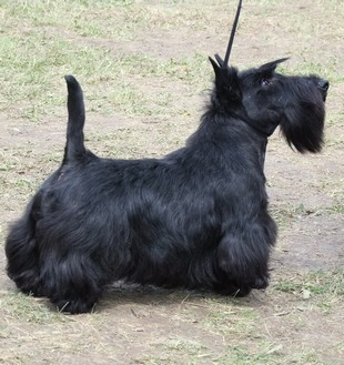 CACIB – DEBRECEN HUNGARY, scottish terrier result