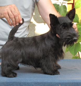 Beautiful scottish terrier puppy – start new life!